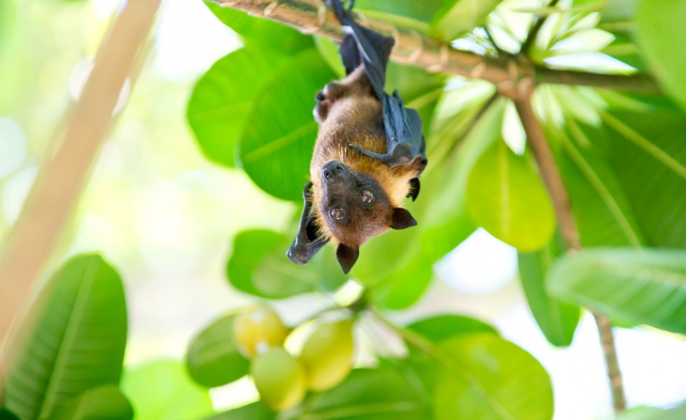 flying fox maldives bat fruit indian ocean