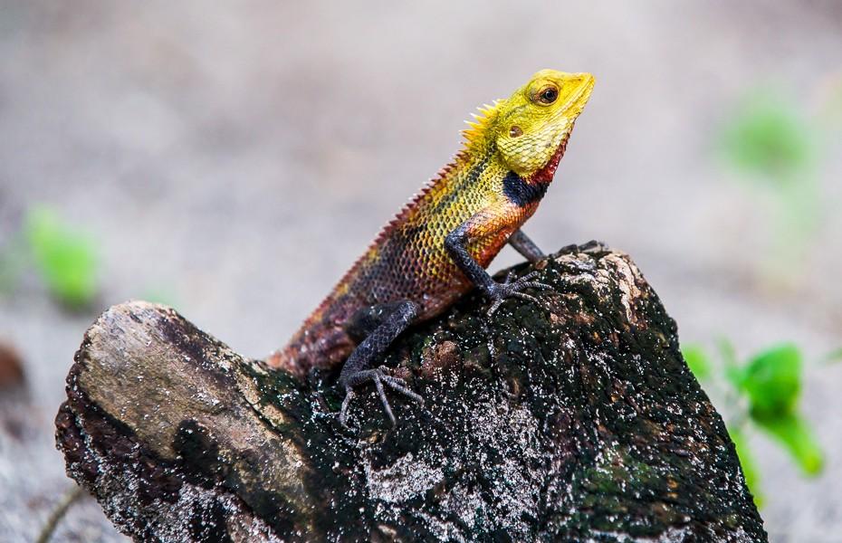 lizard maldives kuramathi