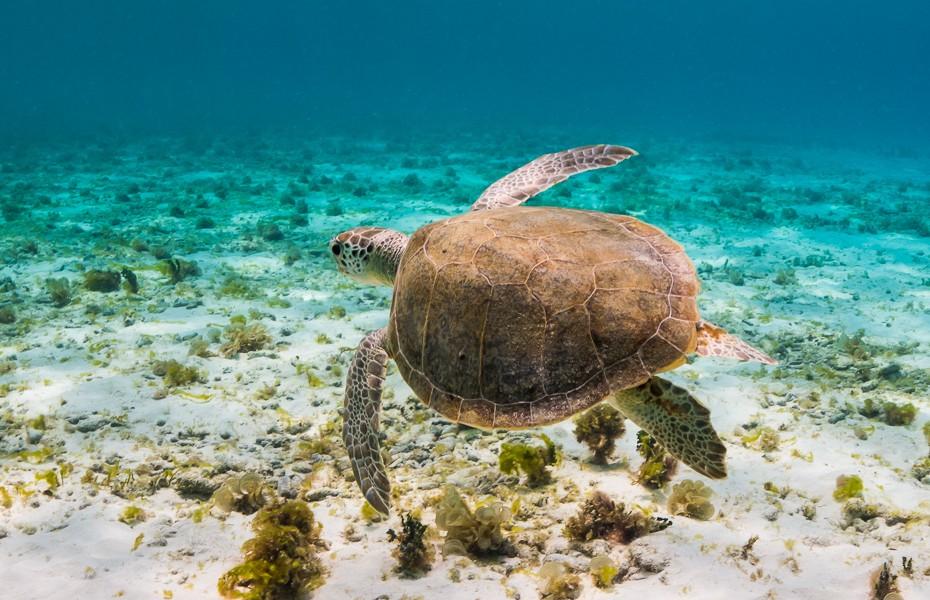 sea turtle sea weed snorkeling diving