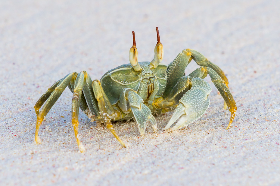 crab seychelles indian ocean nature