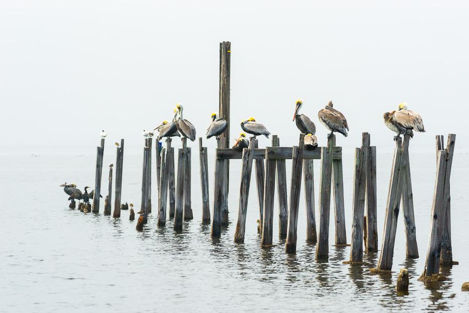 florida pelican road trip