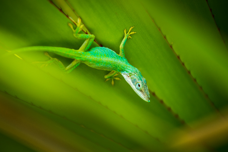Blue Green Anolis allisoni Cuban Cuba lizard macro gecko