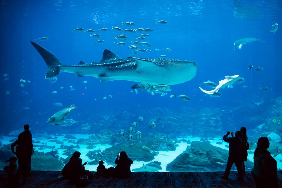 georgia aquarium whaleshark usa atlanta states america