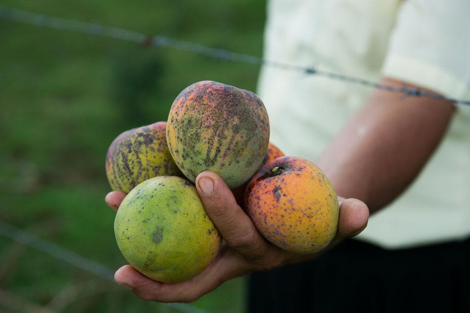 mango cuba caribbean season cuban diverse fruit
