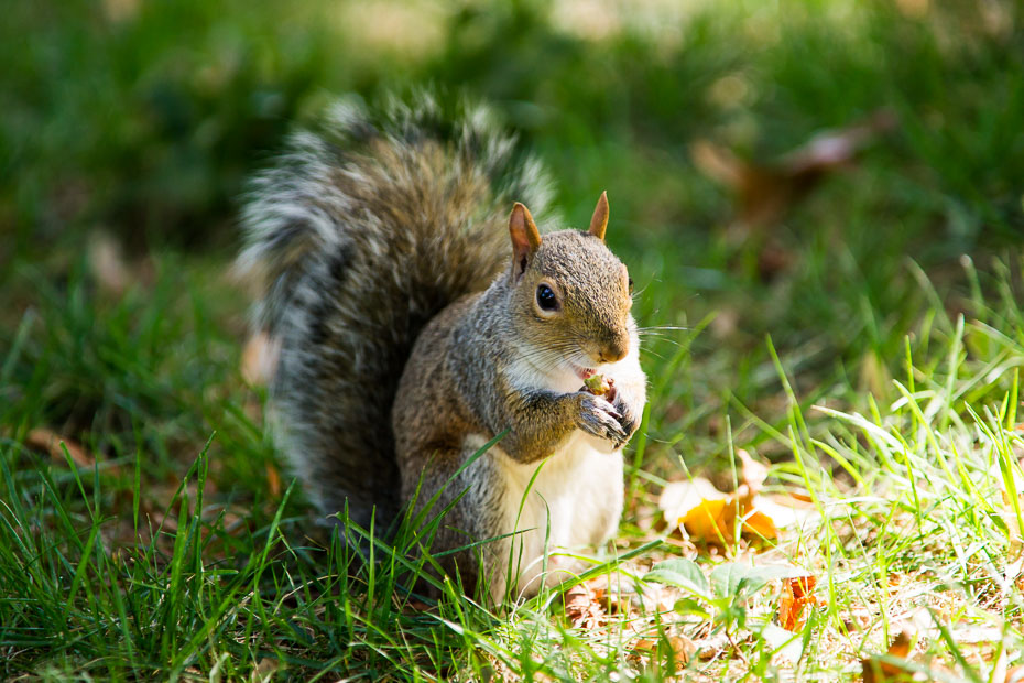 squirrel central park usa new york nyc