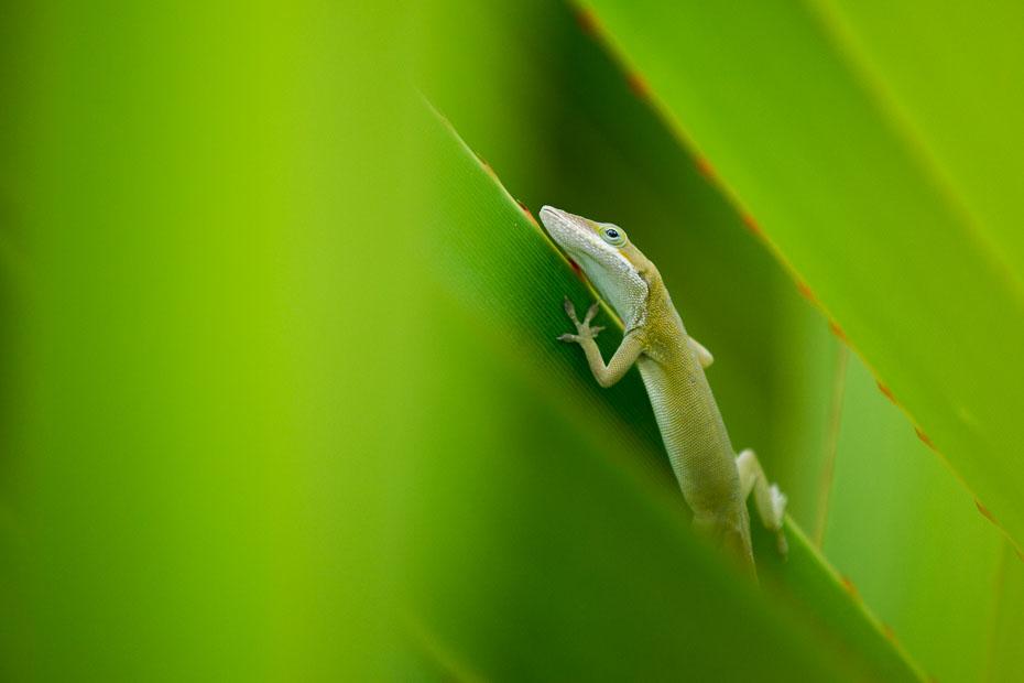 anole cuban havana varadero cuba nature lizard