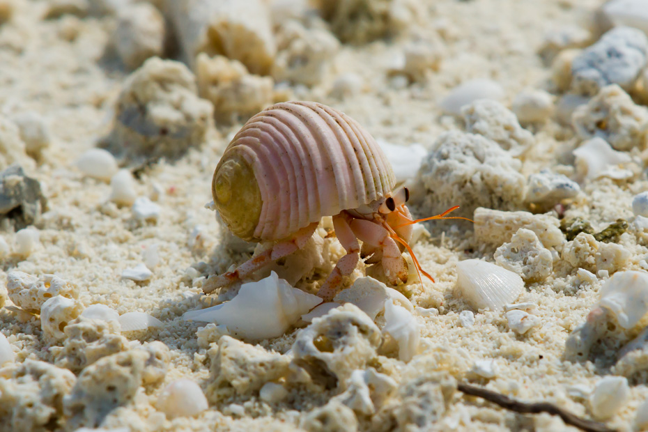 hermit crab maldives indian ocean