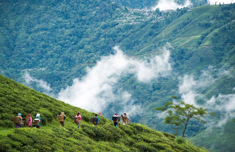 darjeeling singtom tea plantation pluckers clouds himalaya