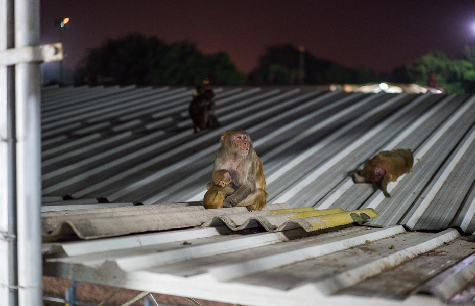 monkeys agra