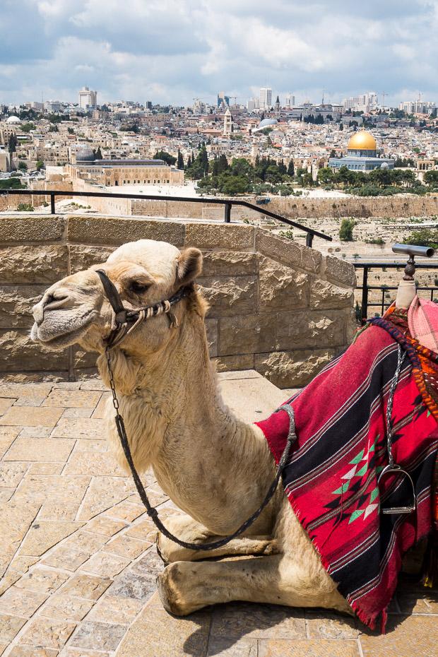 camel jerusalem israel