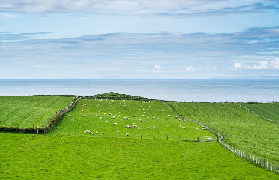 irish fields with sheep