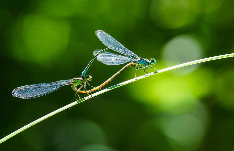 dragonflies in mount grebla