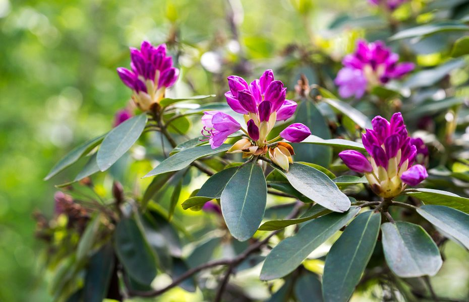 blooming rhododendron in latvia