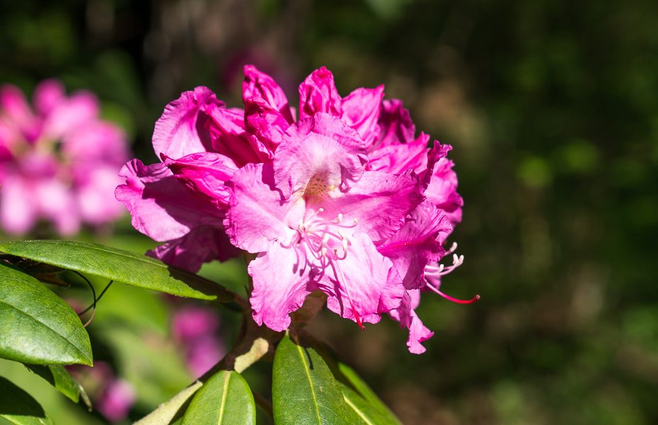 latvia rhododendron