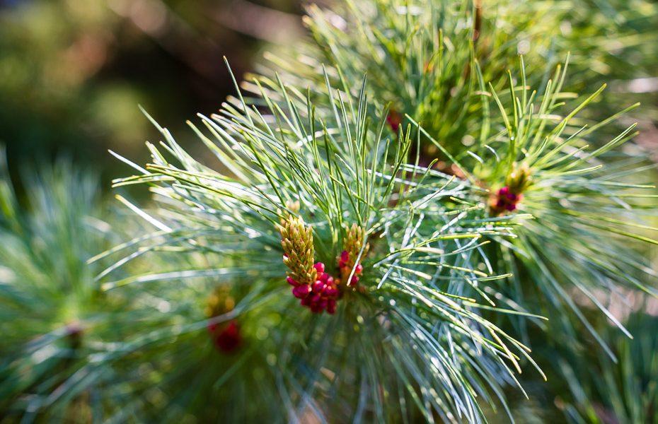 pine trees arboretum lacupite
