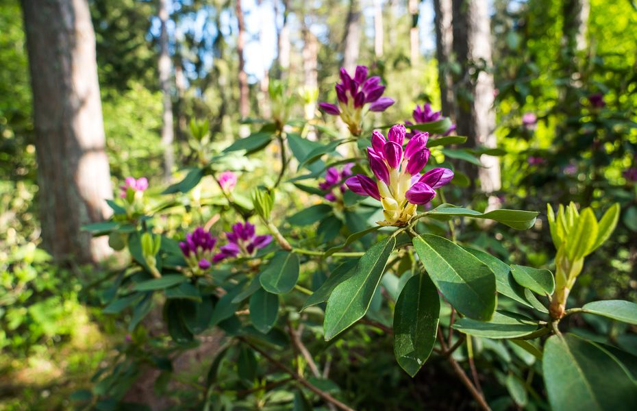 rhododendrons in bloom lacupite