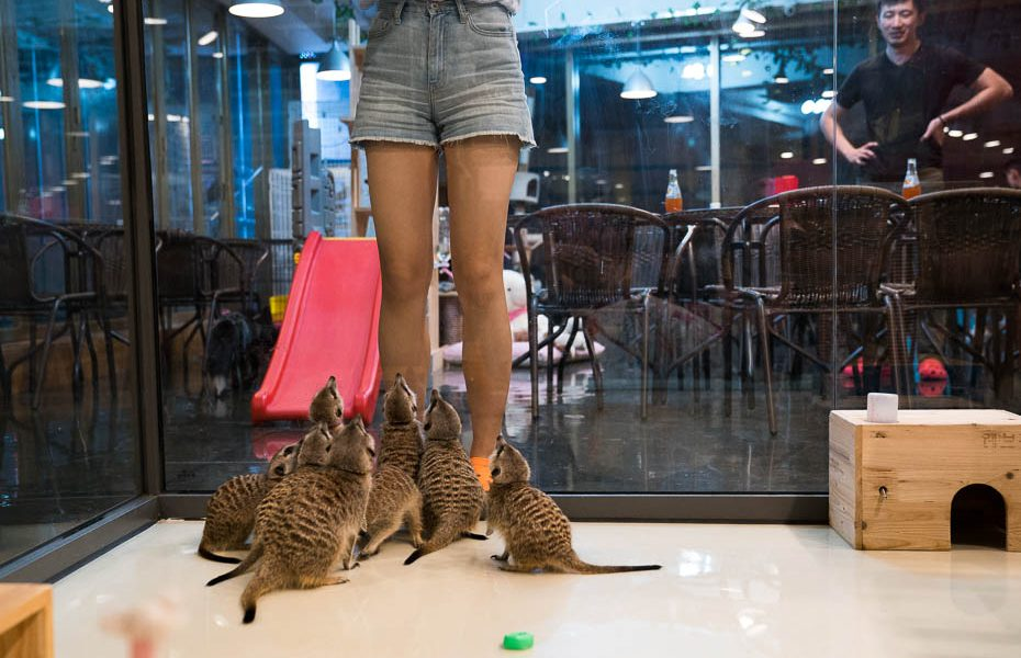 The Cutest, Most Unusual Animal Cafe in the World – the Meerkat Cafe in Seoul