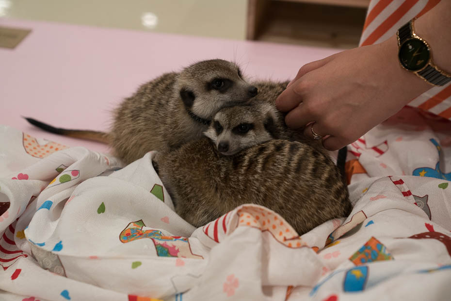 Off the beaten path Seoul meerkat animal cafe