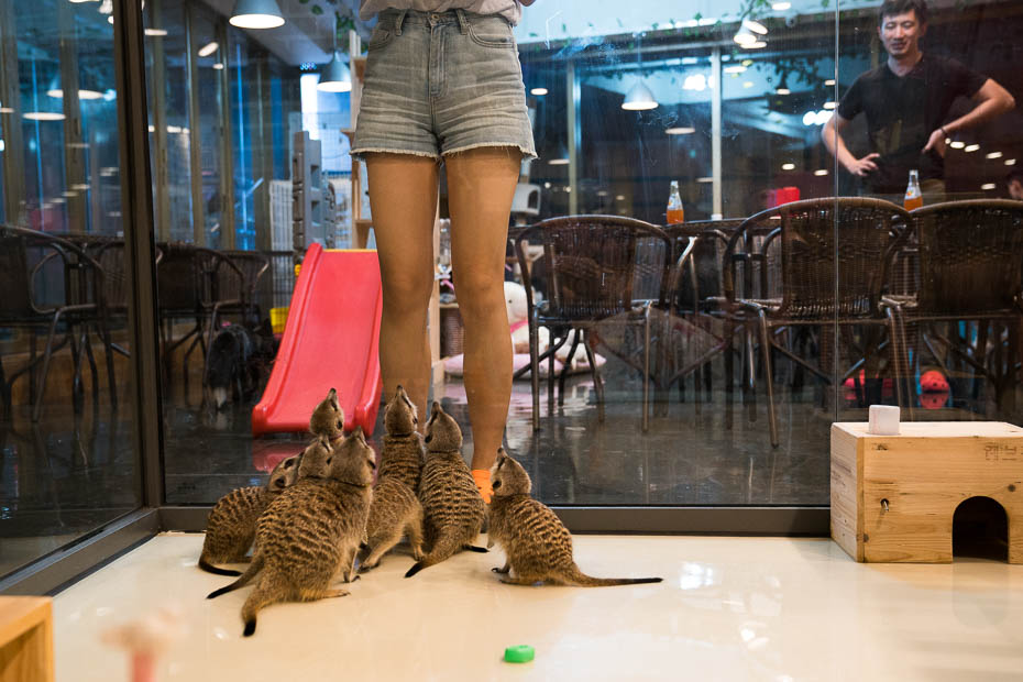Meerkat animal cafe in Seoul