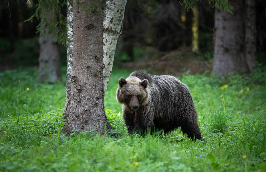 Brown Bear Watching in the Wild in Estonia