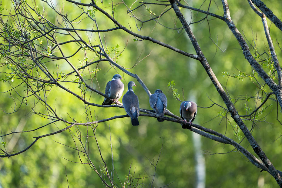 pigeons in the wild