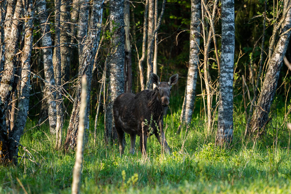 largest animal in Europe moose