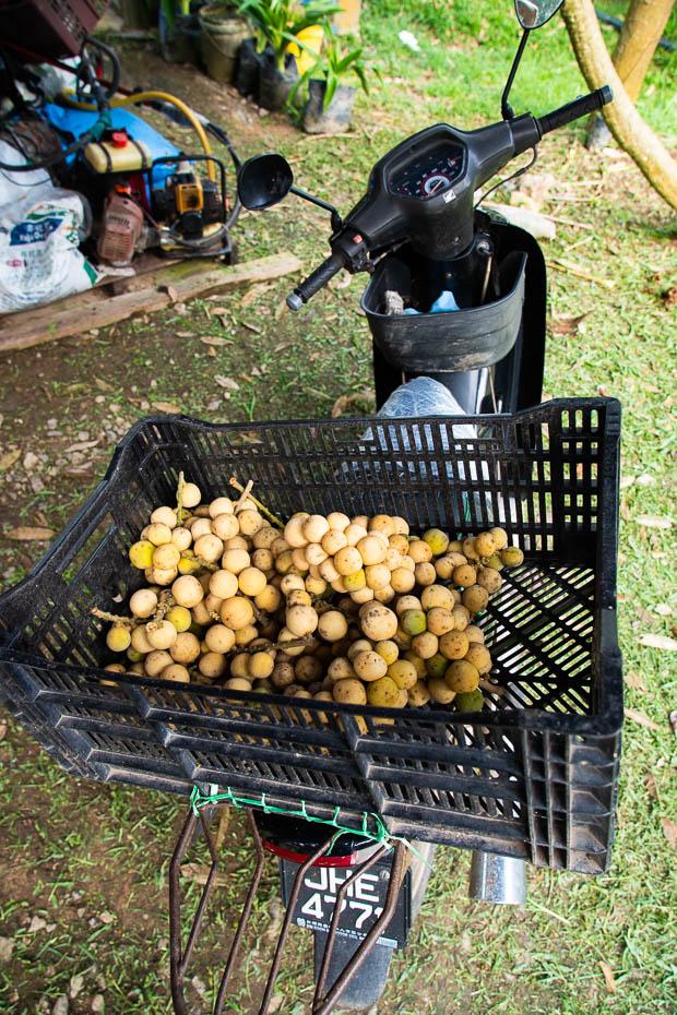 loquat fruit in malaysia