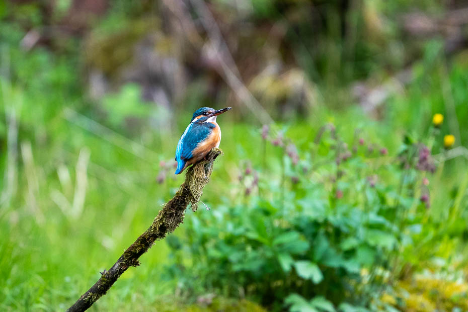 Kingfisher in Cirulisi trail Gauja National Park