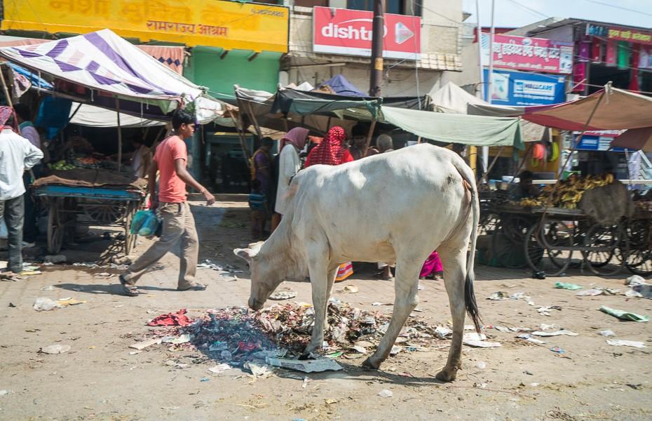 cow rubbish india