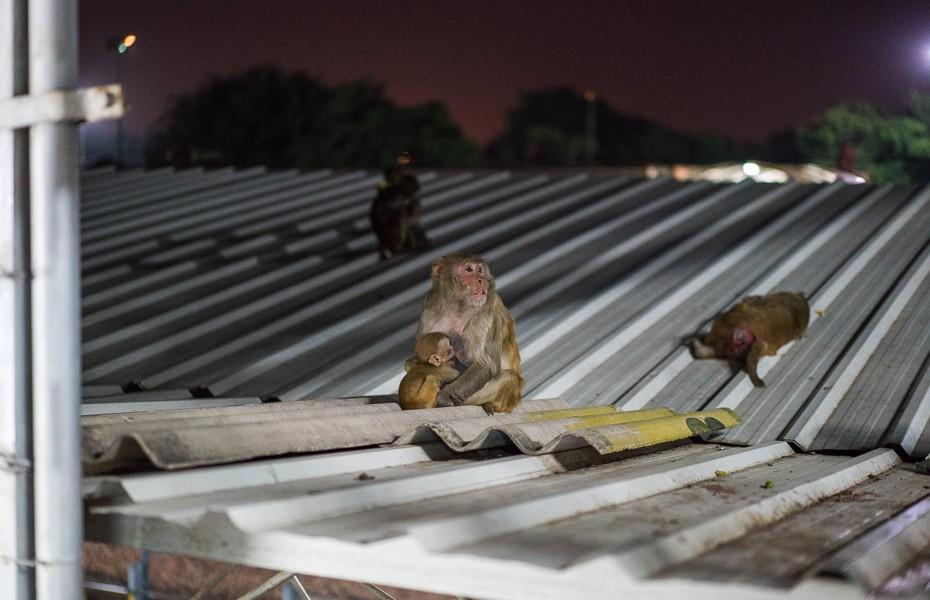monkeys agra