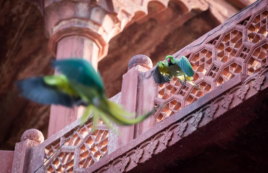 parrots india taj mahal