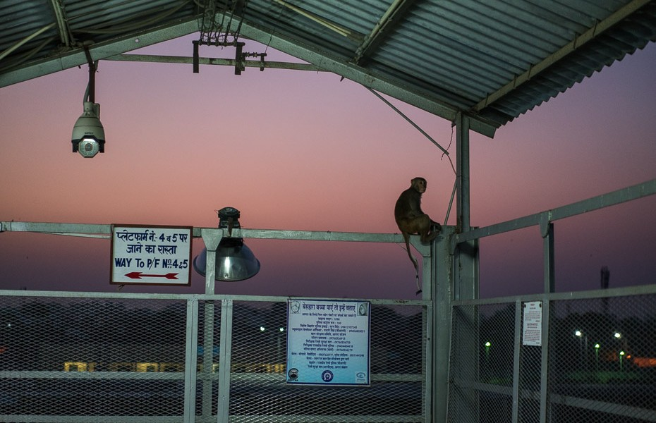 railway station monkey india